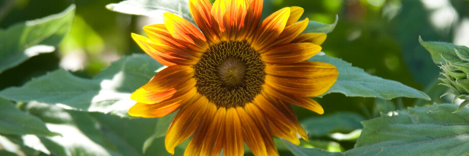 One of our dwarf sunflower varieties growing in the field. The flower color is orange with tints of yellow.