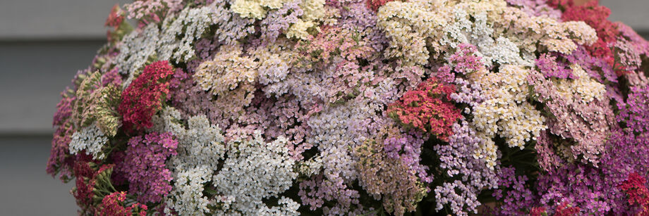 A large bouquet of pastel colored, flat-topped yarrow flowers.