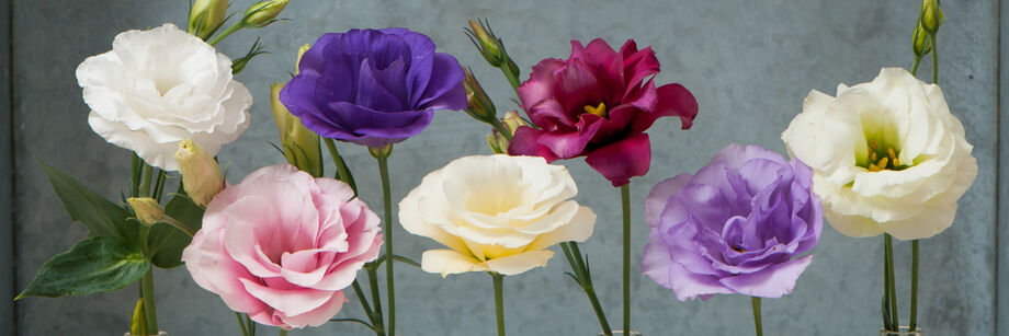 Seven individual flowers showing the different colors of Mariachi Series lisianthus.