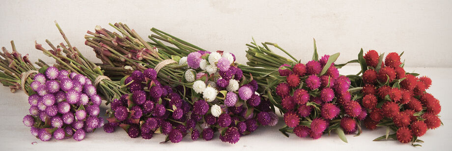Five bouquets of flowers grown from our gomphrena seeds. The colors range from white to purple and red.