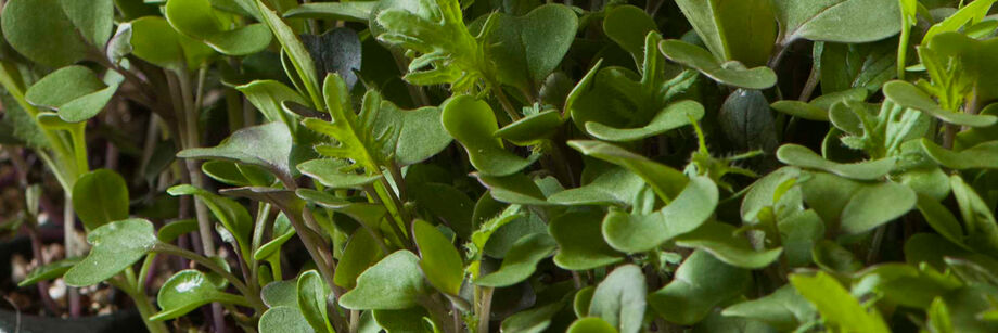 Close-up shot of some of our fast-growing microgreen varieties.