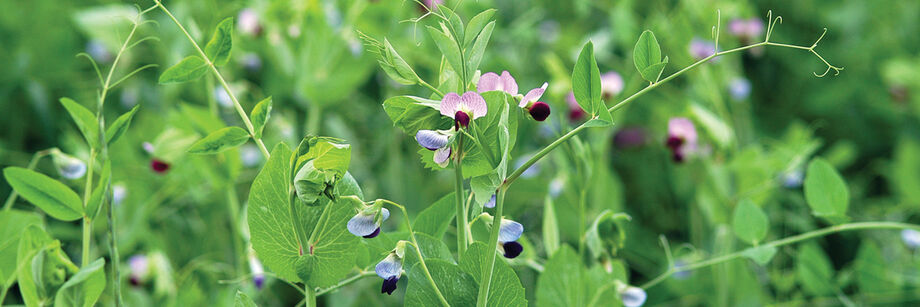Field peas in bloom with small blue and purple flowers.