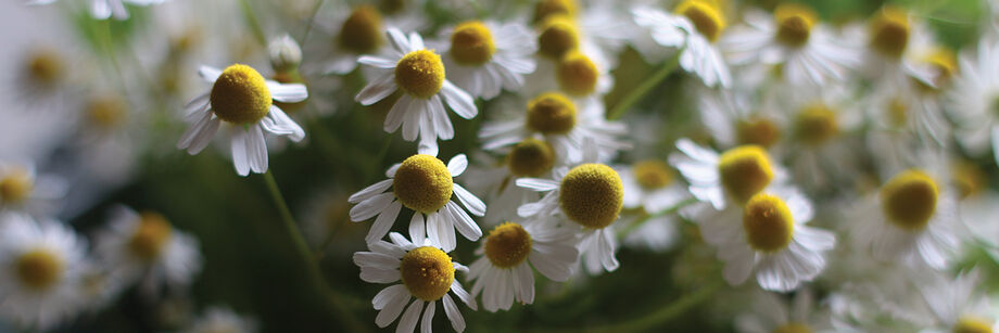 Close-up of chamomile flowers.