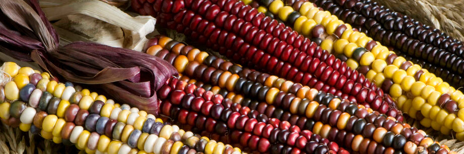 Six shucked ears of dry corn display the vivid array of colors available with Johnny's dry corn varieties.