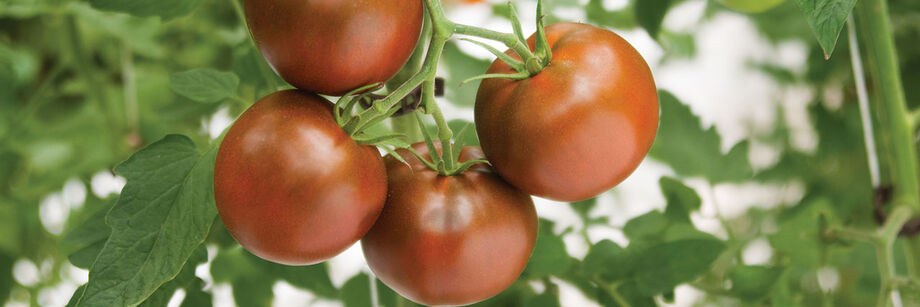Greenhouse Tomatoes | Johnny's Selected Seeds