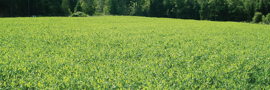 A large field sown with our spring green manure cover crop mix.