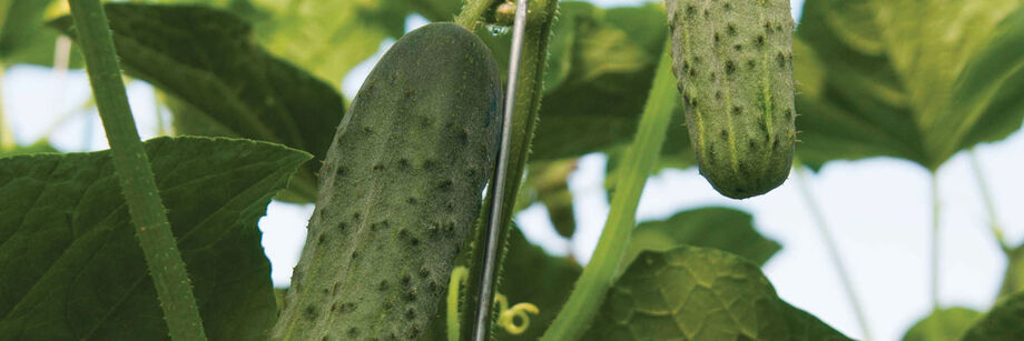 Greenhouse Cucumbers | Johnny's Selected Seeds