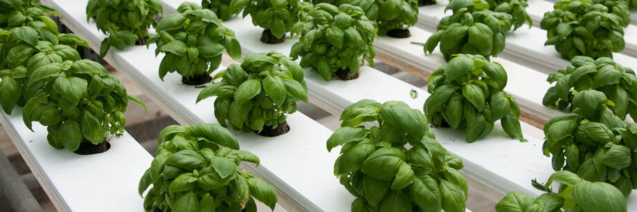 One of our basil varieties shown growing in a hydroponic system.