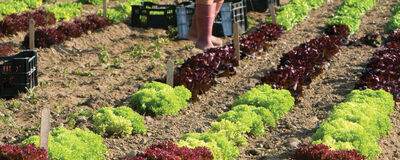 How to Choose & Grow the Best Lettuce