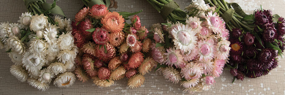 Four bouquets of strawflowers in white, peach, light pink, and burgundy.