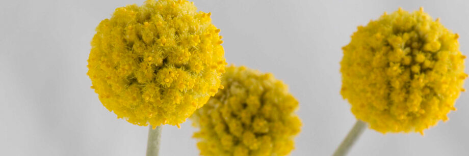 Three yellow drumstick flowers. They look like yellow pom-poms.