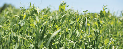 5 Steps to Choosing a Spring Cover Crop