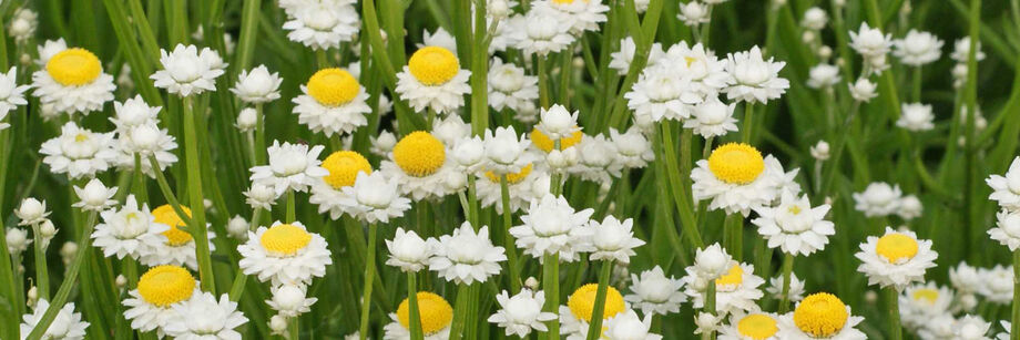 Ammobium flowers in the field. The blossoms are small and white with bright yellow centers.