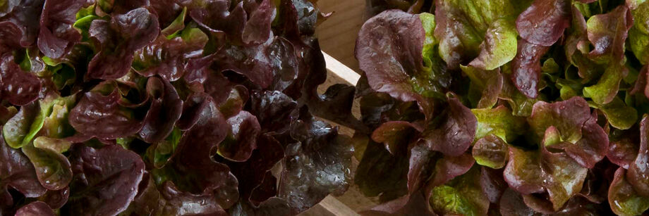 Two large red oakleaf lettuce heads.