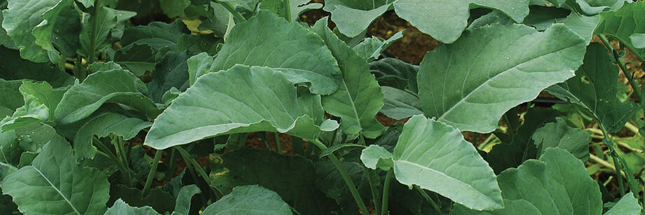 Leaf broccoli varieties growing in the field.