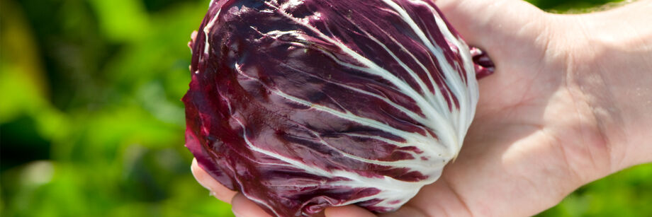 Person holding a red radicchio head.