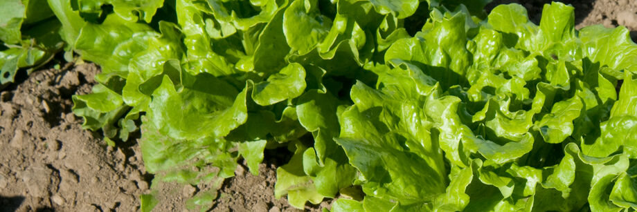 One of our heat tolerant lettuce varieties growing in the field.