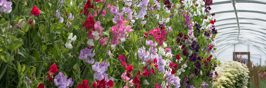 Johnny's sweet pea varieties growing in a high tunnel. The colors are white, pink, maroon, and lavender.