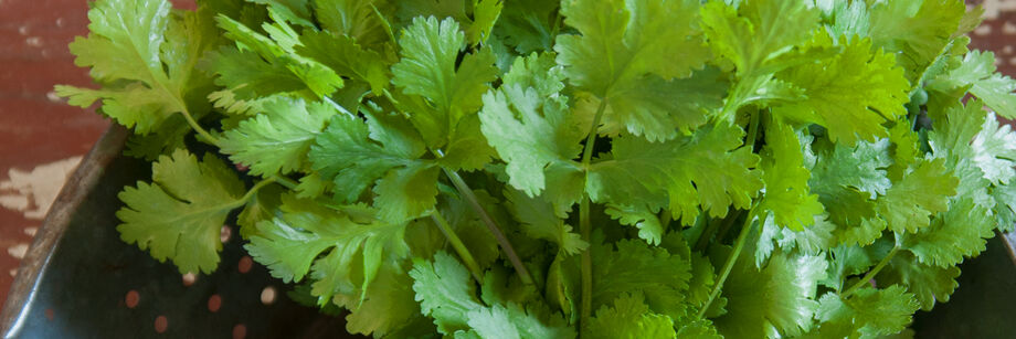 The fresh cilantro leaves of one of our cilantro varieties, shown in a bowl.