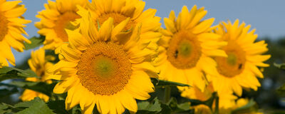Want to grow the greatest sunflowers?