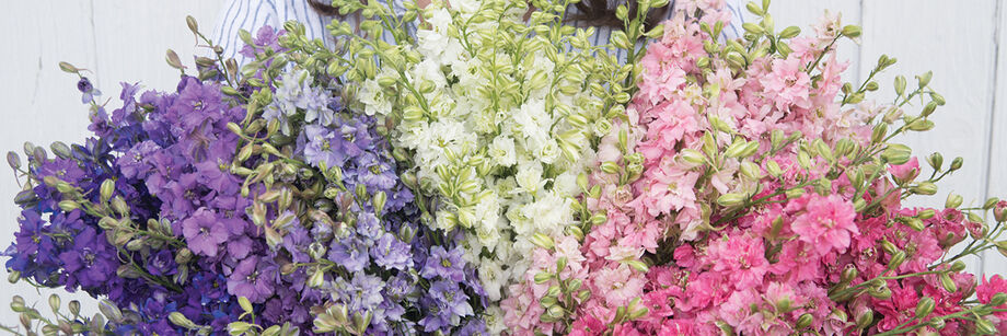 Person holding a bouquet of blue, purple, white, and pink larkspur flowers, grown from varieties offered by Johnny's.