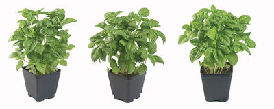 Choosing the Best Basil for Hydroponics & Containers