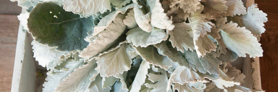 The large silvery leaves of one of our dusty miller varieties, displayed in a wooden box.