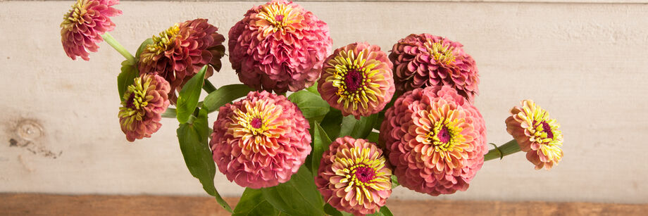 A bouquet of flowers from one of Johnny's zinnia varieties, called Queen Red Lime.