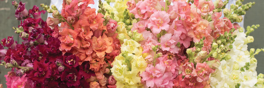 A large bouquet of flowers, grown from our snapdragon varieties. The colors are maroon, peach, yellow, pink, and white.