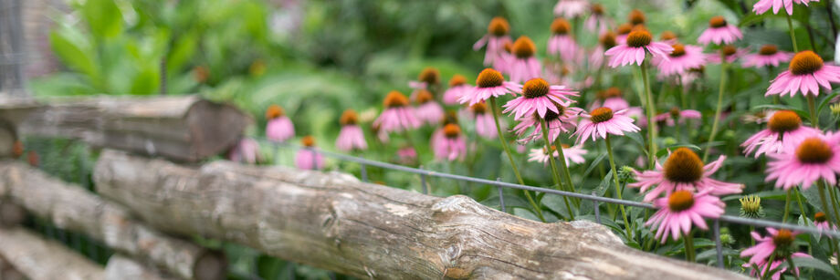 Echinacea in bloom alongside a wooden fence.