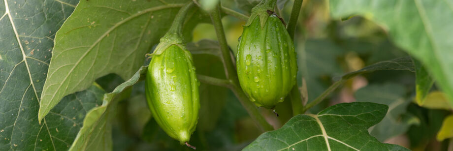 Green Brazilian eggplants growing in the field.