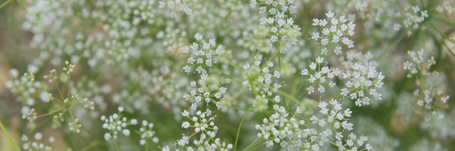 Close-up of small white flowers of anise.