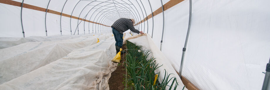 High tunnel covered by row covers and a man pulling row cover off one row of crops.