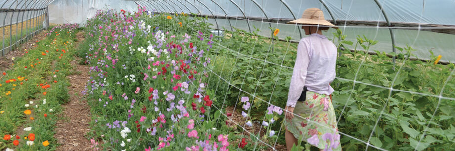 Person walking through a high tunnel along a row of flowering sweet peas support by trellis netting.