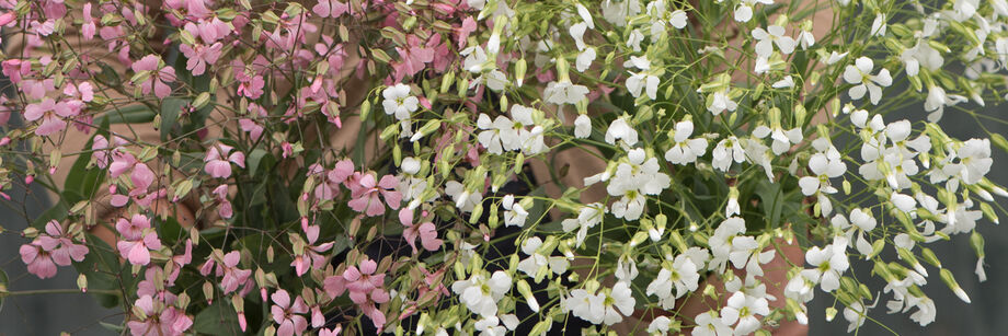 Delicate pink and white saponaria flowers.