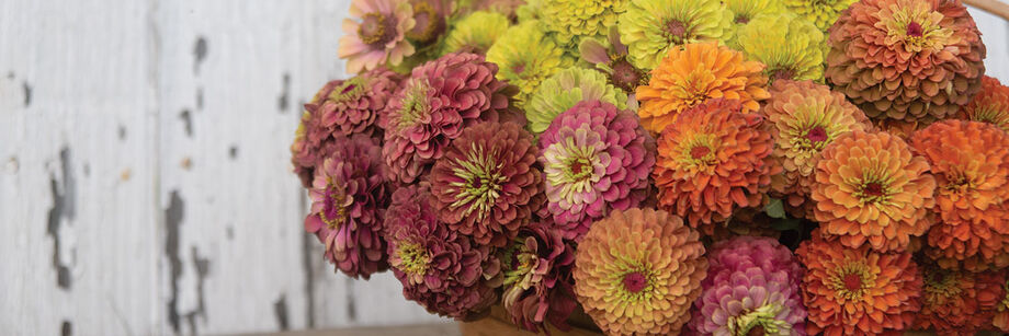 A large bouquet of Queen Series zinnias. The colors are antique rose, lime, and orange.