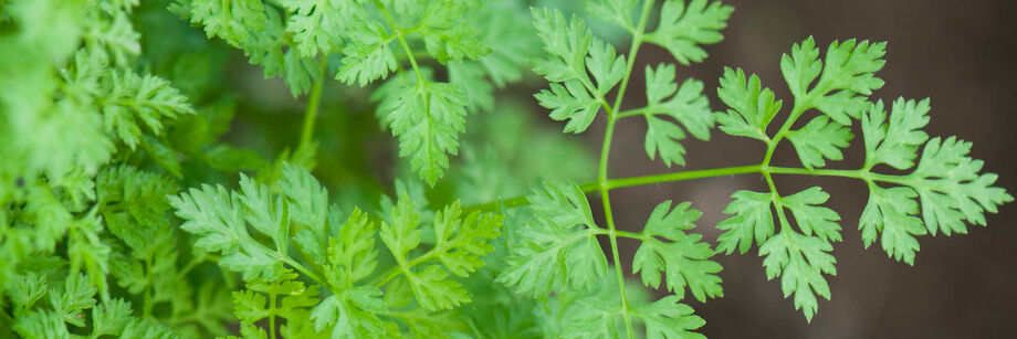 Close-up of green chervil leaves.
