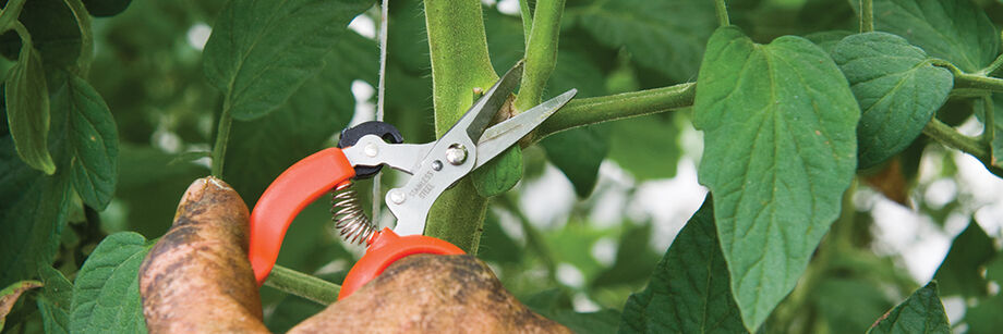 Person using one of our shears to prune tomatoes.