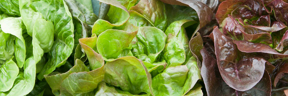 Close-up of green and red bibb lettuce varieties.