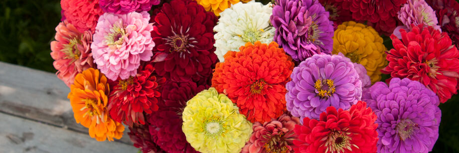 Colorful bouquet of Benary's Giant zinnia flowers. The colors are orange, pink, burgundy, green, white, and lavender.