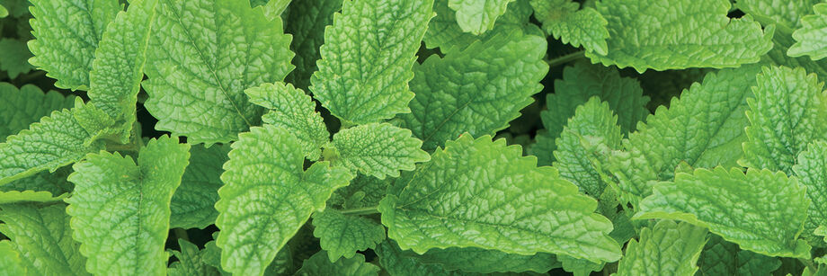 Overhead view of green lemon balm leaves.
