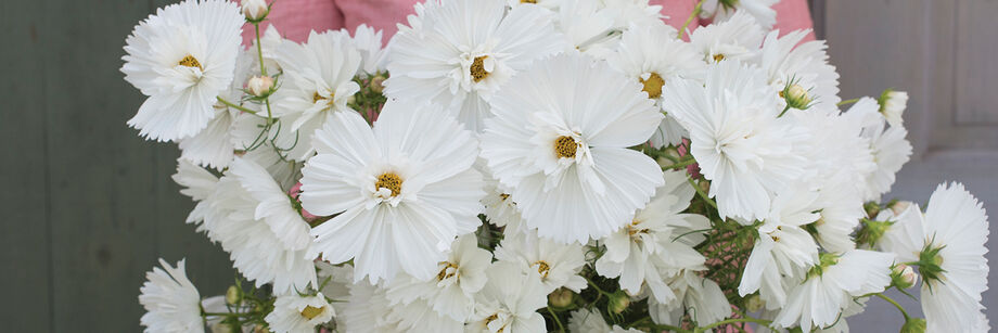 Woman holding a bundle of the large white flowers of one of our cosmos varieties.