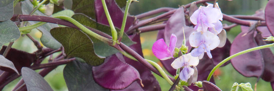 The purple pods and flowers of the hyacinth bean, shown growing in the field.