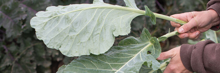 Person hold collard leaves in the field.