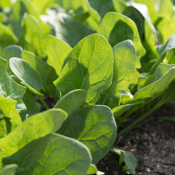 Vigorous Spinach