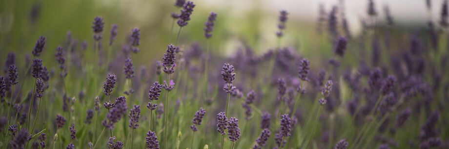 Lavender flowers in the field.