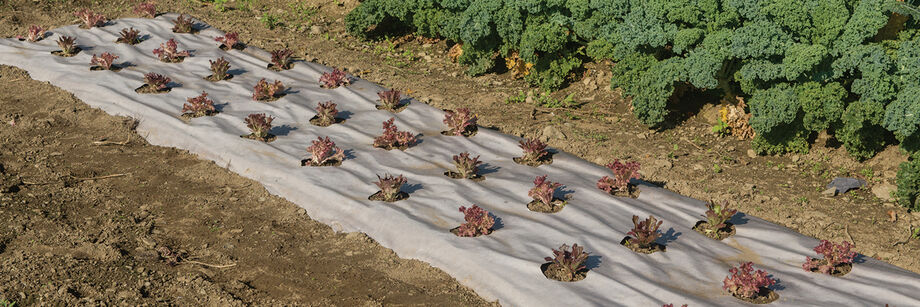Lettuce plants growing through biodegradable mulch.