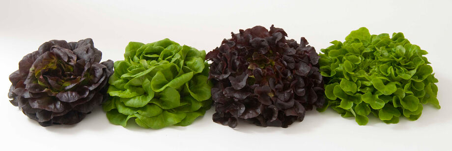 Four heads of Salanova lettuce: two red and two green.