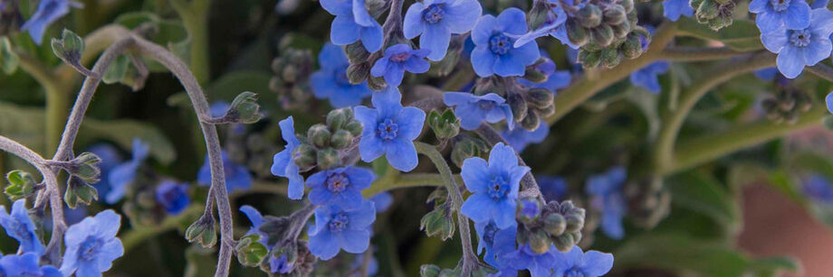 The small, bright blue flowers of Chinese forget-me-not.