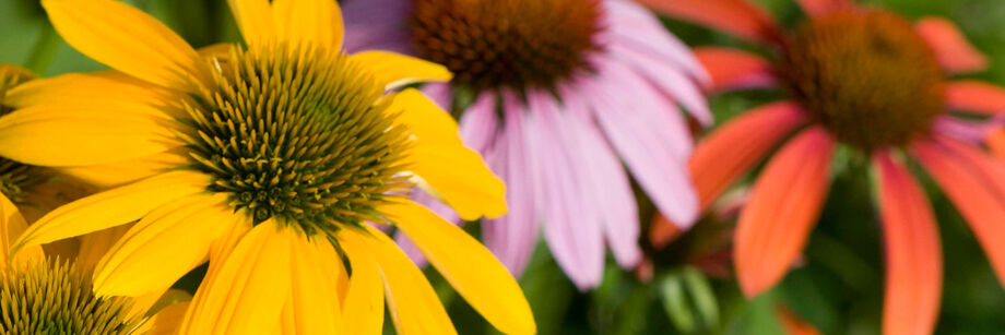 Close-up shot of three Echinacea flowers: one yellow, one purple, and one red-orange.